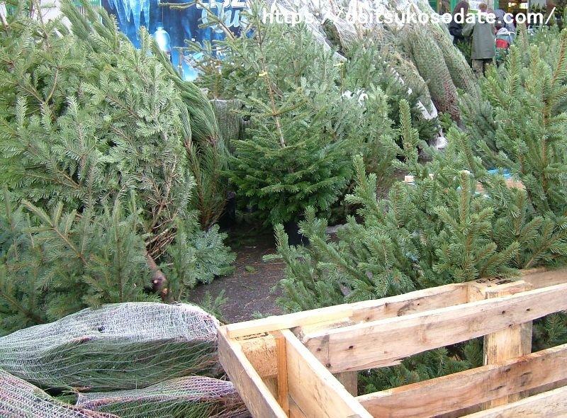 期間限定で生木のクリスマスツリー販売