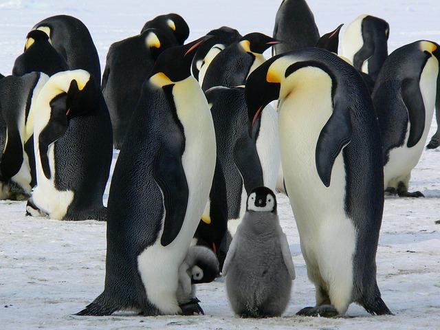 氷の上のペンギン親子